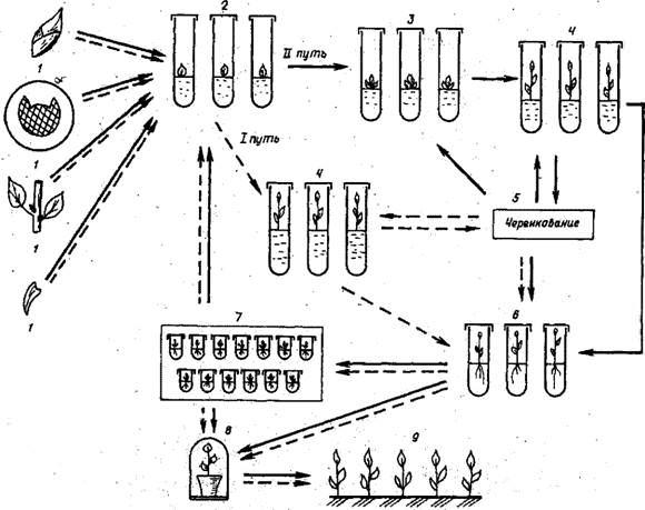 Схема клонального
